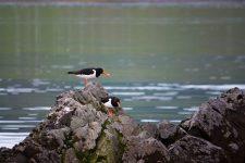 Austernfischer-Pärchen in Saeberg, Island