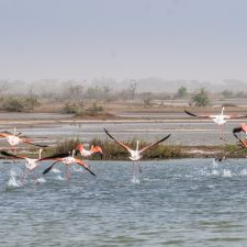 Flamingos im Djoudj Nationalpark, Senegal