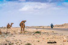 Kamele am Straßenrand in der Westsahara
