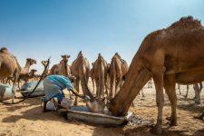 Kamelnomade in Mauretanien