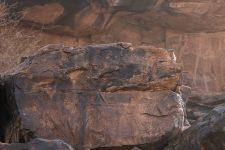 Klippschliefer auf einem großen Felsenblock in Azougui Mauretanien